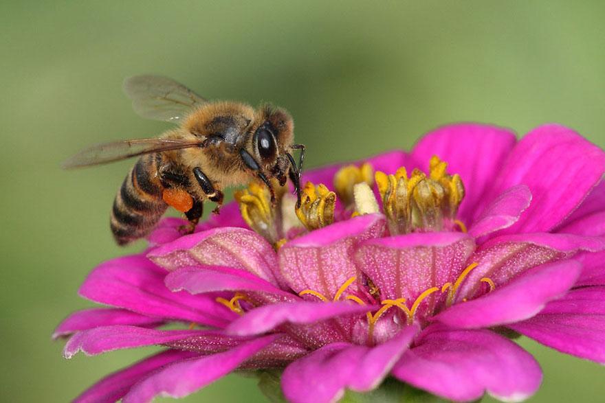 Misterij nestajanja pčela