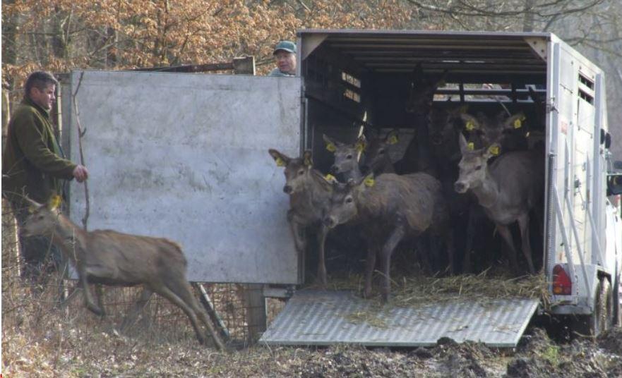Puštena 42 jelena u Spačvanske šume