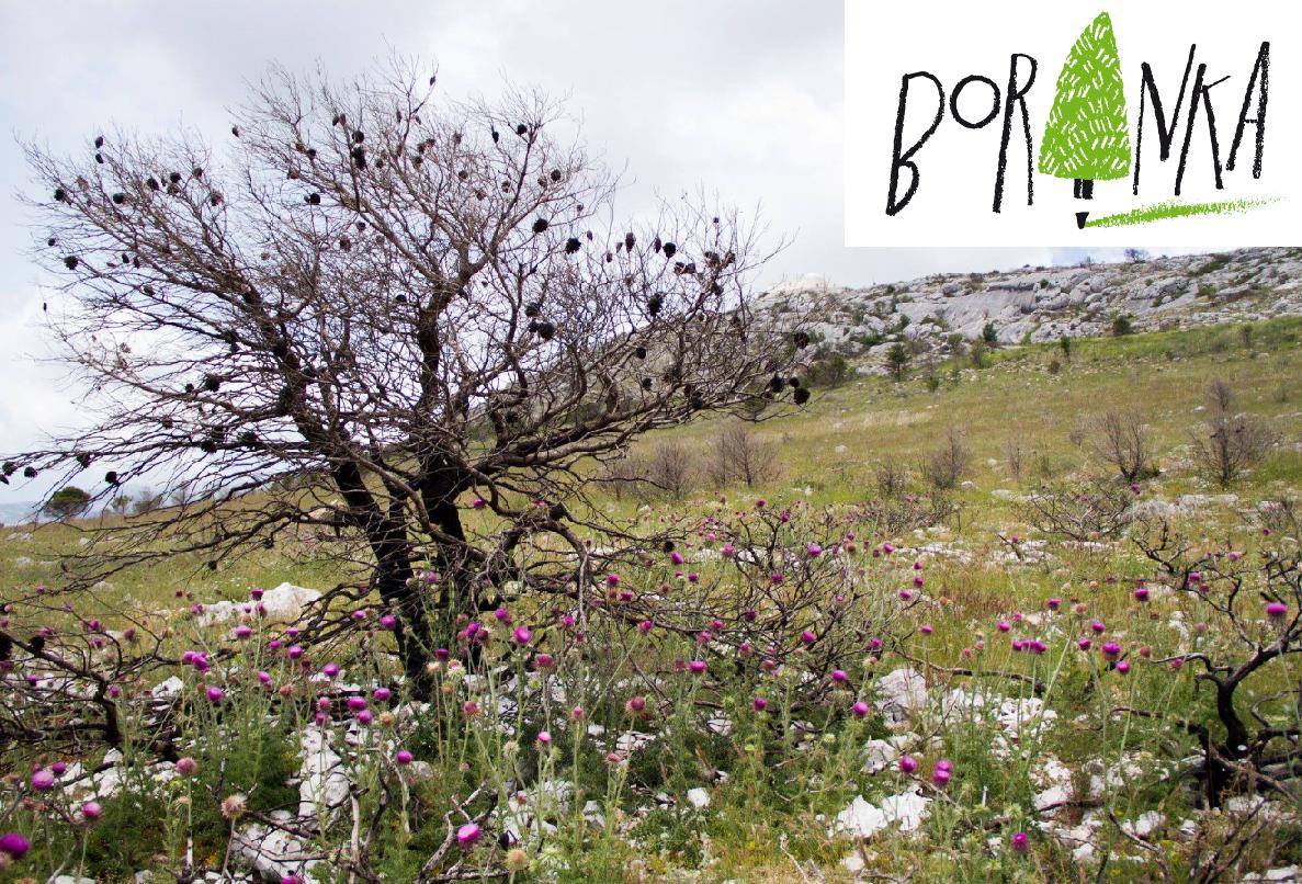Boranka – projekt pošumljavanja opožarenih područja Dalmacije