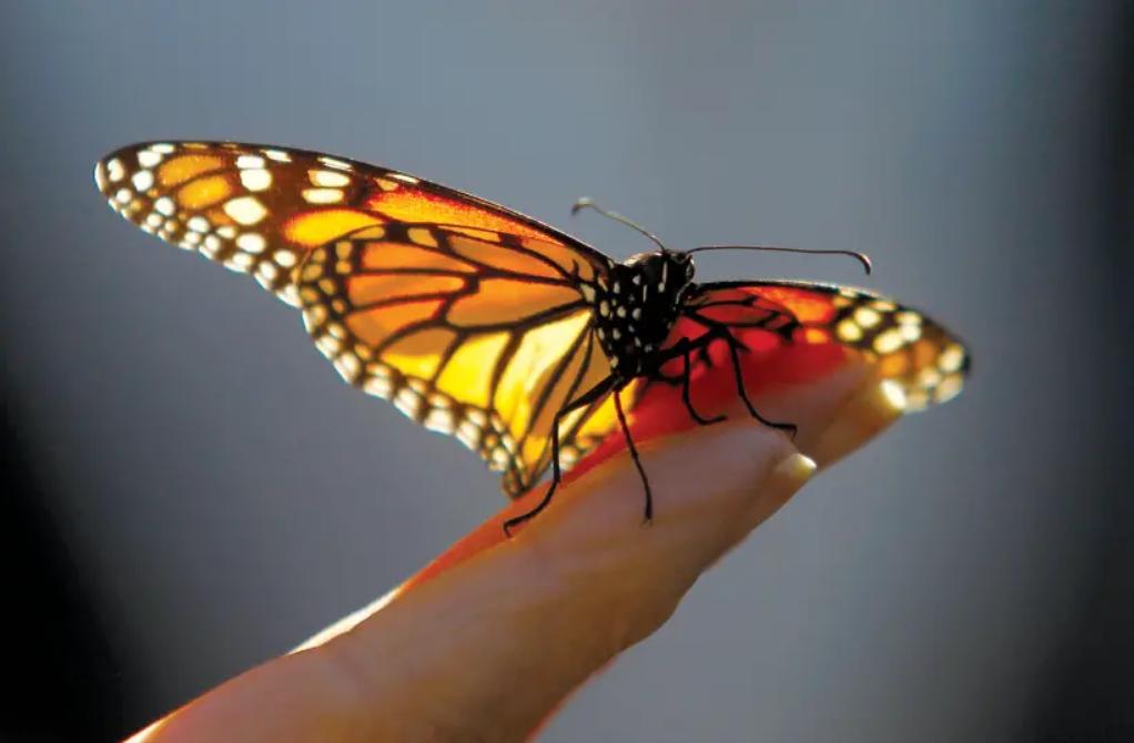 Boja leptira može utjecati na njihovo preživljavanje